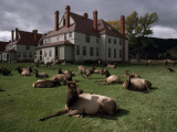Elks Recline on the Grounds of Mammoth Hot Springs  Yellowstone