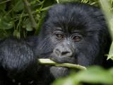 A Juvenile Gorilla Eating a Stalk