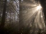 Morning Light in the Forest Mist in Redwood National Park