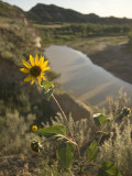 Plains Sunflower Grows Near the Little Missouri River