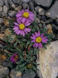 Pink Mountain Townsendia Brighten a Rocky Outcrop