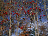 Branches of Bright Red Dogwood Berries