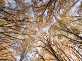 California Black Oak Trees in Yosemite Valley Shot in Autumn