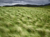 Marram Beach Grass Blowing on the Coast of the Isle of Lewis