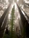Coast Redwood Trees  Sequoia Sempervirens  in Fog