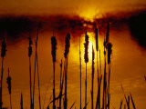 Silhouetted Cattails and Sunlight on the Water at Sunset