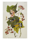 Black and Yellow Warbler Magnolia Warbler