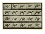 Camel  Plate from 'Animal Locomotion'  1887