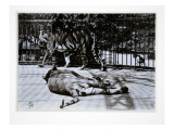 Tigers at London Zoo  1870S