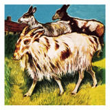 A Herd or Tribe of Goats