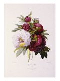 Peonies  Engraved by Prevost
