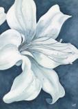 Wistful Lily II