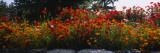 Poppies Along a Stone Wall  Fidalgo Island  Skagit County  Washington  USA