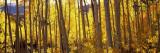 Aspen Trees in Autumn  Colorado  USA