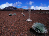 Silversword Plants Growing in Volcanic Crater