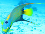 Queen Angelfish (Holacanthus Ciliaris)  Paradise Reef