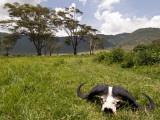 Cape Buffalo Skull and Hills of Ngorongoro Crater