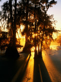 Bald Cypress Trees Silhouetted at Sunset at Lake Martin