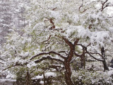 Snow Covered Tree in Garden of Heian Shrine During Snowfall