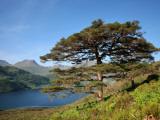 Scots Pines on Shore of Loch Hourn  Knoydart Peninsula