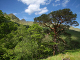 Scots Pines Below Ladhar Bheinn Ridge  on the Knoydart Peninsula in the Northwest Highlands