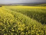 Rape Crop Flowers in Springtime in Northwestern Jaen Province