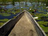 Mokoro  Traditional Dugout Canoe  Among Lilies on Delta