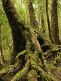 Mossy Roots of Myrtle Beech Tree  Mt Dundas
