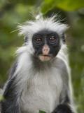 Young Zanzibar Colobus Monkey