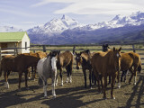 Horses in Corral at Estancia Cristina  Lago Argentino