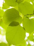 Leaves of Linden Tree  Botanic Gardens