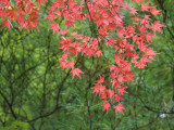 Contrasting Autumn Leaves  Arishiyama District