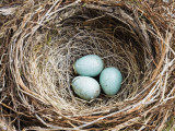 Nest and Eggs of Common Blackbird (Turdus Merula)
