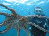 Diver Looking at Octopus at Blue Safari Submarine