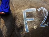 Chalk Drawn Number on Elephant Hide at Elephant Polo King's Cup