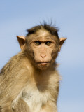 Bonnet Macaque  Badami Caves