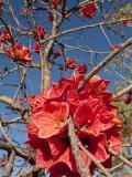 Flowers of Sticky Kurrajong (Brachychiton Viscidulus)  West Kimberley