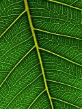 Peepal Leaf