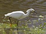 Great White Heron in Elkhorn Slough