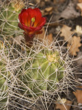 Claret Cup Cactus in Bloom