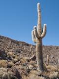 Cactus at Isla Pescado