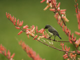 Immature Beautiful Sunbird (Cinnyris Pulchella) Feeding from Aloe
