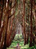 Woman Walking Through Eucalyptus Trees  the Presidio