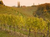 Vineyard in Jeruzalem Wine Region