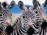 Group of Common Zebras