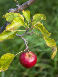 Apple Hanging from Orchard Tree  Huon Valley