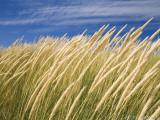 Beachgrass on Dunes of Binnalong Bay  Near St Helens