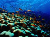 School of Anthias over Brain Coral - Red Sea  Ras Mohammed National Par
