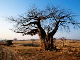 Vehicle Track Beside Baobab Tree  Singida