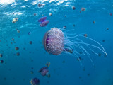 Purple Ocean Jelly Fish  Ras Banas  Red Sea